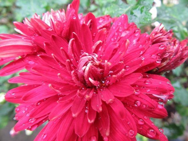 紅い菊の花大見 27.11.24