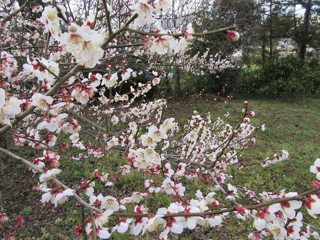 畑の梅の花白 28.2.22