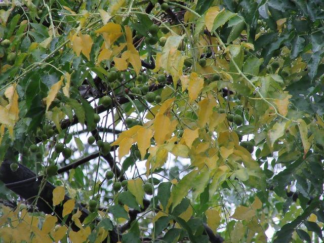 木の葉(上の方をアップで) 27.11.18