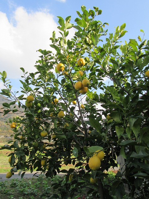 レモンの木 27.12.15