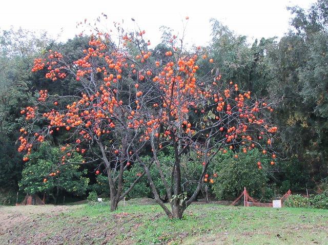雨降りの日の柿の木 27.11.18