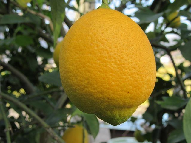 黄色いレモン 27.12.15