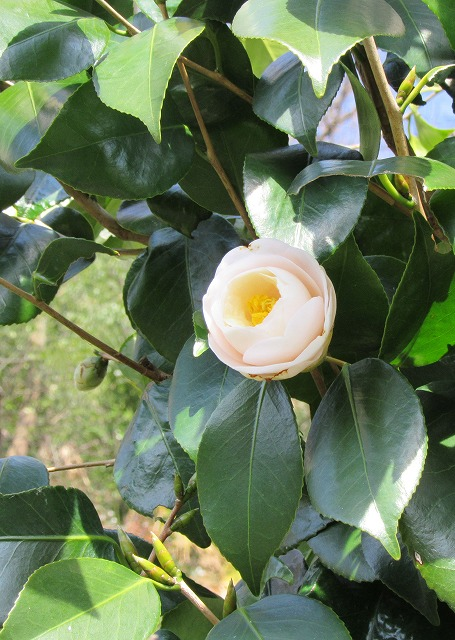 白色椿まだ咲きます 28.2.29