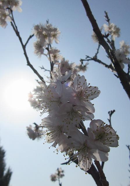 さくらんぼの花満開 28.3.7