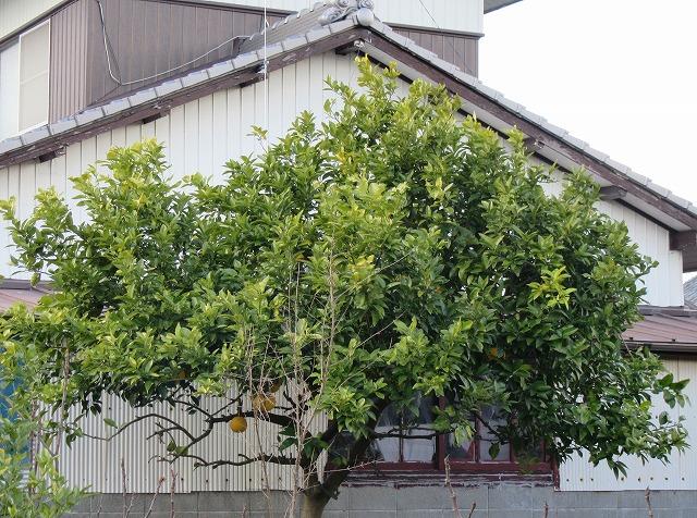 西の玄関から見た、蜜柑の木 28.1.19