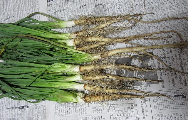 サラダごぼう純ちゃんより 28.2.22