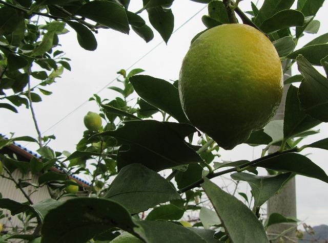 まだまだ緑レモン 27.11.25