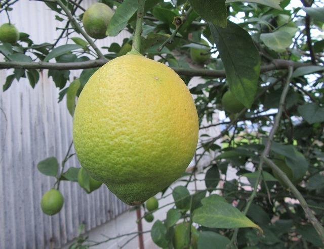 黄色くなってるレモンを探して 27.11.25