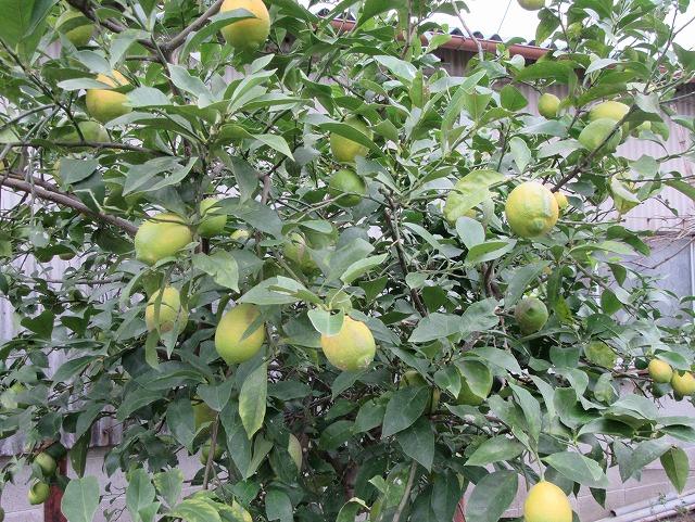 畑のレモン 27.11.25