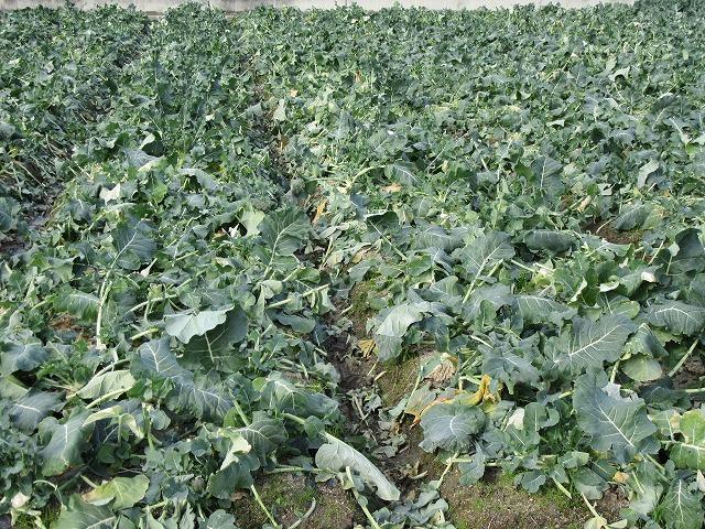 収穫の終わったブロッコリー 27.12.27