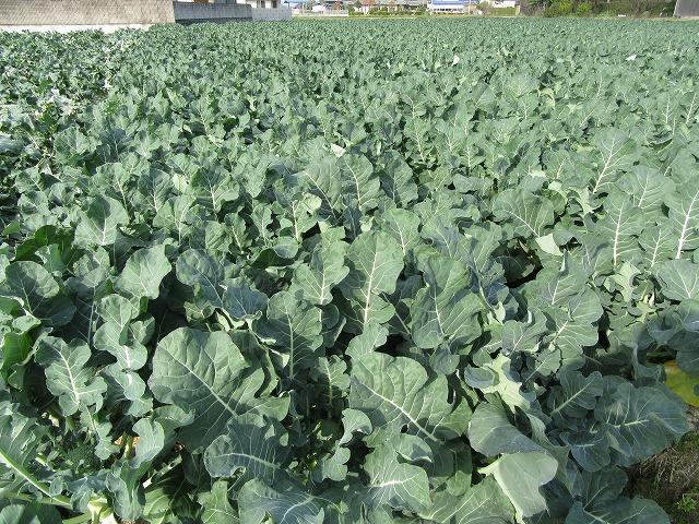 今から収穫するブロッコリー 27.12.27