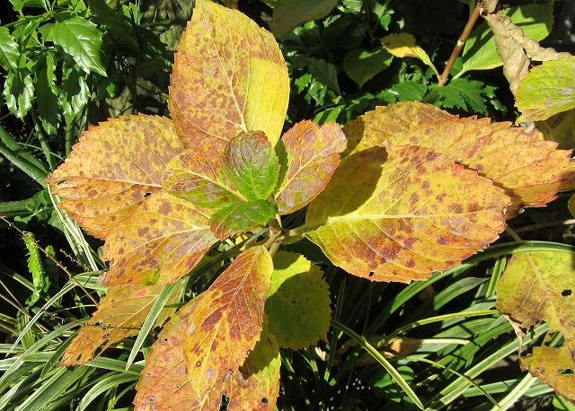 紫陽花の葉も 27.12.29