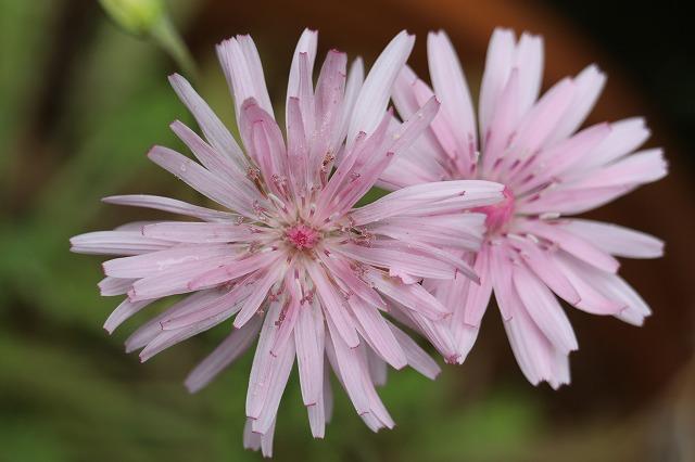 桃色タンポポ2個咲き 横 27.11.12