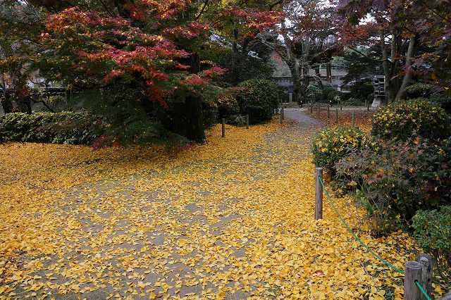 銀杏の葉・・・落ち葉 27.11..10