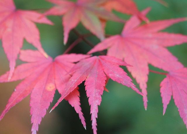 法泉寺の楓 赤・大きい葉 27.11.10