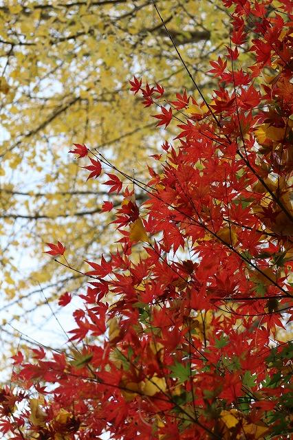 法泉寺 楓(赤)と銀杏(黄) 27.11.10