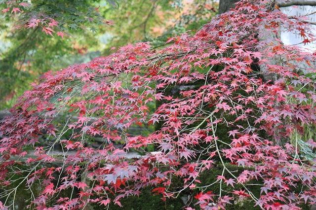 一枝だけ濃い赤色 小さい葉楓 27.11.10