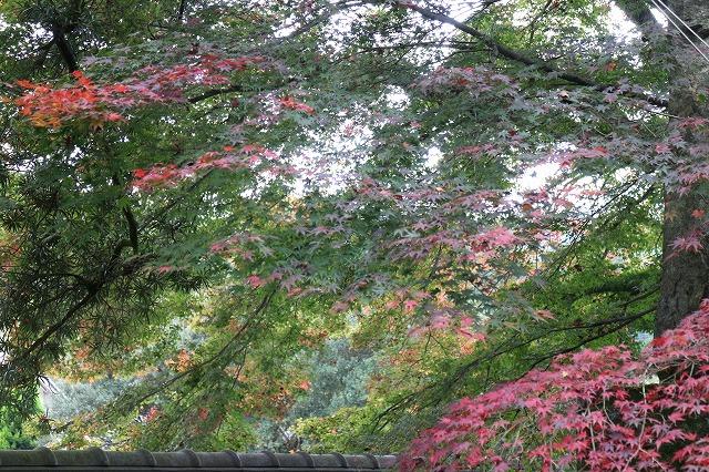 法泉寺 楓小さい葉 赤と緑 27.11.10