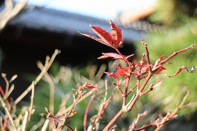 冬の庭楓 27.12.20