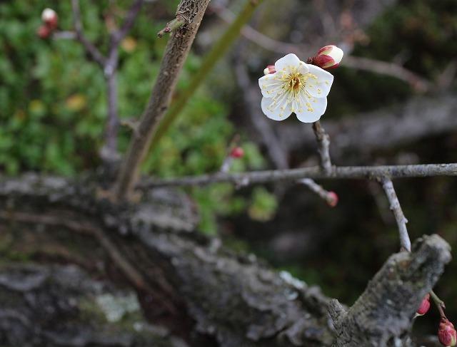 白梅チラホラ花 28.1.19