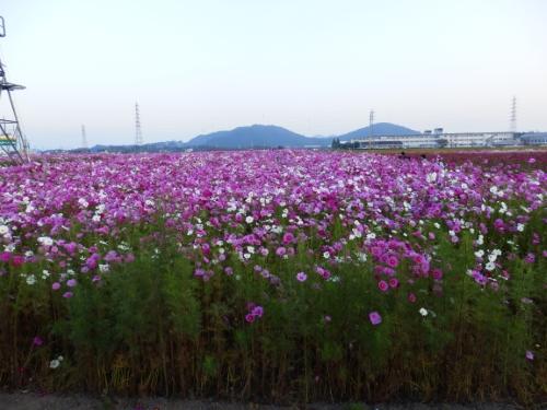 野田町コスモス畑 (1)_resized