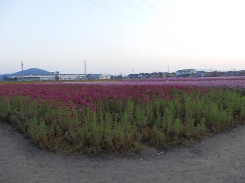 野田町コスモス畑 (2)_resized