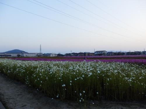 野田町コスモス畑 (11)_resized