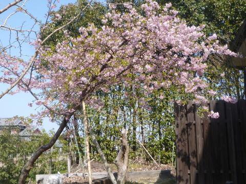 河津桜が咲きました(1)