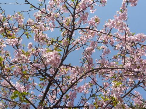 河津桜が咲きました(2)