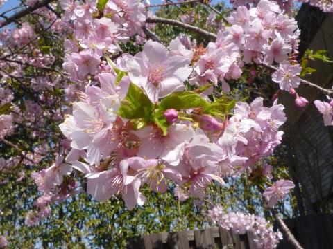 河津桜が咲きました(3)