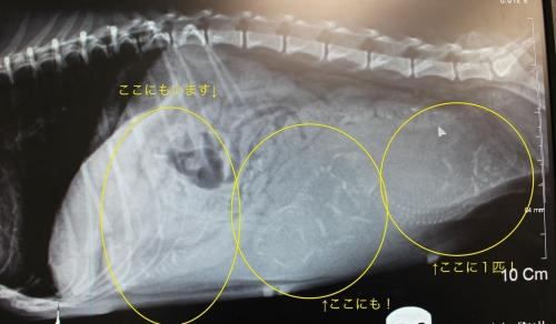 Momoちゃんのレントゲン
