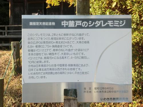 中釜戸のシダレモミジ・6