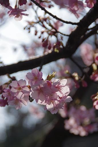 160227河津桜2