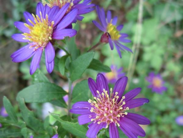 151104 庭の花0002