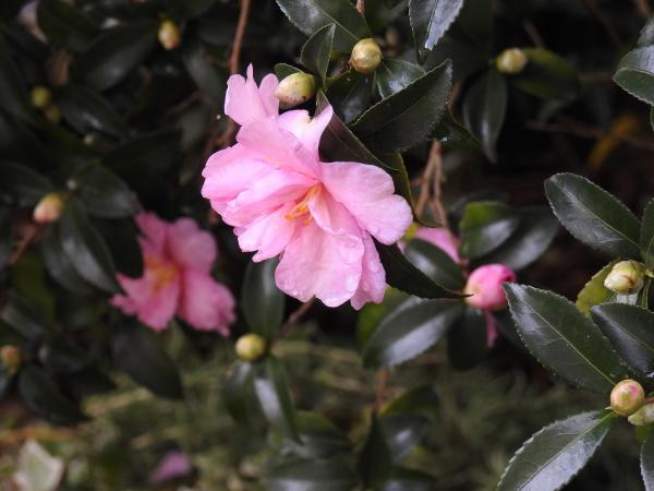 151104 庭の花0005