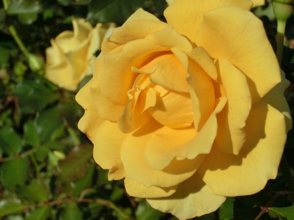 151104 庭の花0009