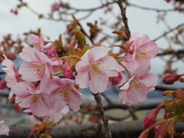 160207 梅と河津桜0008
