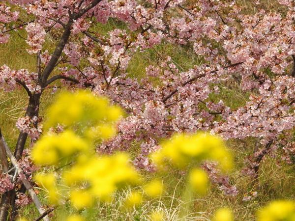 160305春めき桜0002