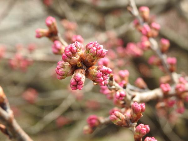 160305春めき桜0005