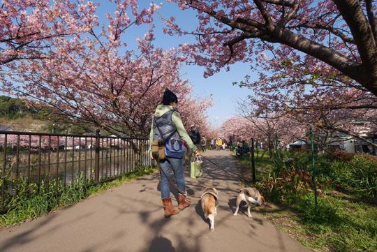 000河津桜散策