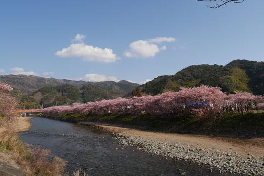 008川沿いの桜