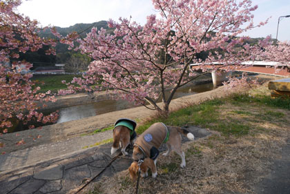 110河津桜とななしゅう