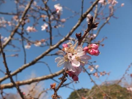 2016年1月4日桜