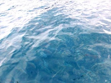 海面に鯛が・・・