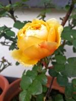 yellowrose0216