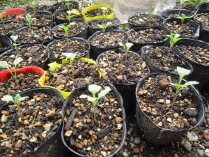 11-23茎ブロッコリー