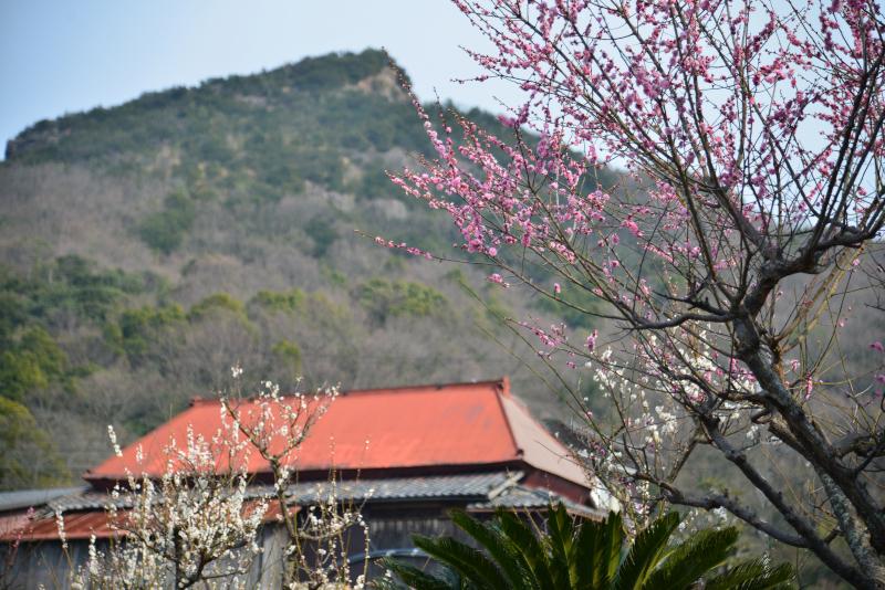 梅薫る山郷5(香川県庵治町)