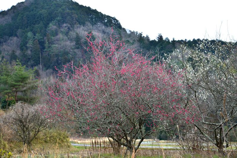 「里山の紅白梅」 (香川県長尾)