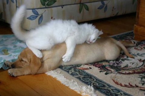 11-cats-sleeping-on-dogs