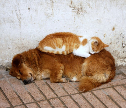 15-cats-sleeping-on-dogs.